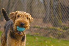 Playful airedale terrier dog with ball in mouth. Playful airedale terrier dog with blue ball in mouth outdoors stock photo
