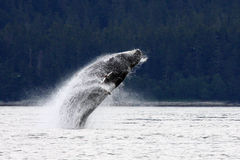 Playful Alaskan Humpback Whale Royalty Free Stock Photos