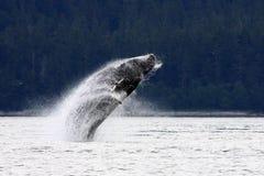 Playful Alaskan Humpback Whale. A playful young humpback whale breaches backwards spectacularly near Juneau, Alaska royalty free stock photos