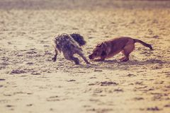 Two mongrel dogs playing together on beach. Playful animals, pets outside concept. Two mongrel dogs playing together on sandy beach. Outdoor shot on sunny day stock photography