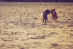 Two mongrel dogs playing together on beach Stock Image