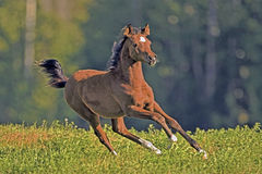 Playful Arabian Filly  Stock Photos