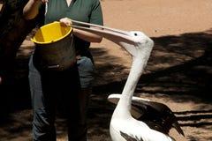 Playful Australian pelican Stock Photography