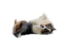 Playful Australian Shepherd Stock Photos