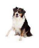 Playful Australian Shepherd Dog Royalty Free Stock Photos