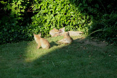 Playful Babies. This photo shows some playful Fox cubs Royalty Free Stock Image