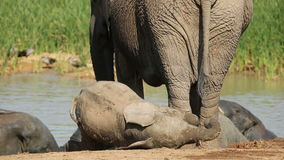 Playful baby African elephant stock footage