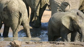 Playful baby African elephant stock video