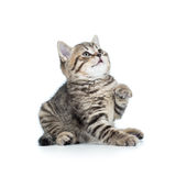 Playful baby cat Stock Photography