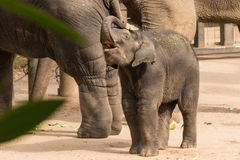 Playful baby elephant Royalty Free Stock Image