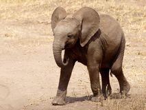 Playful baby elephant. Walking baby elephant in Tarangire, Tanzania royalty free stock images