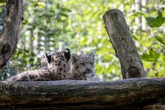 Kitten of Snow Leopard cat, Irbis royalty free stock images