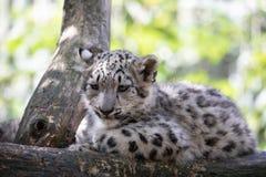 Kitten of Snow Leopard cat, Irbis stock photos