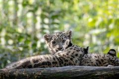 Kitten of Snow Leopard cat, Irbis stock image