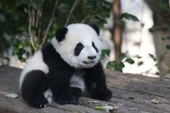 Free Playful Baby Panda In China Royalty Free Stock Images - 132713259