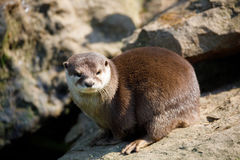 European otter family Lutra lutra royalty free stock photography