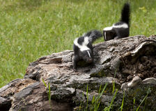 Playful Baby Skunks. Two baby skunks exploring a log Stock Images