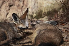 Playful Bat-eared foxes Royalty Free Stock Image