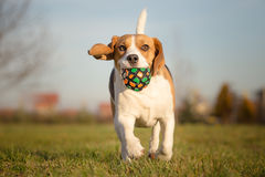 Playful Beagle Dog Royalty Free Stock Photo