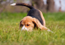 Playful beagle puppy in grass Stock Images