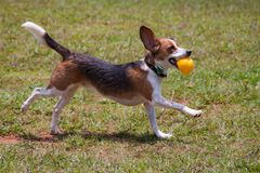 Playful beagle running with ball stock photo