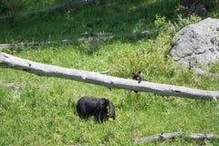 Playful Bear Cubs Royalty Free Stock Photo