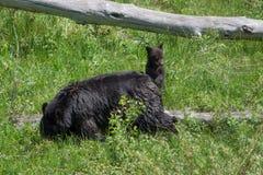 Playful Bear Cubs Royalty Free Stock Images