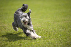 Playful Bearded Collie running on green grass, short coat. Playful Bearded Collie jumping on green grass. He has short coat stock photos