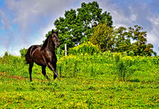 Playful Beautiful black Morgan Horse in field. A playful beautiful black Morgan stallion runs around the hill top green pasture with blue skies in the background stock images