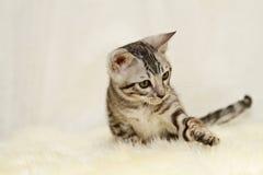 Playful bengal cat kitten Stock Image