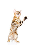 Playful Bengal cat looking up. isolated on white background Stock Image