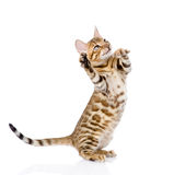 Playful Bengal cat looking up. isolated on white background Stock Images