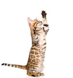 Playful Bengal cat looking up. isolated on white background Royalty Free Stock Photos