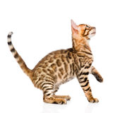 Playful Bengal cat looking up. isolated on white Stock Photo