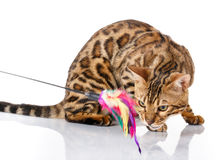 Playful Bengal cat looking up. isolated on white background Royalty Free Stock Photo