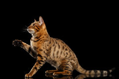 Playful Bengal female Cat Sitting, Raising paw, Isolated Black Background. Playful Bengal female Cat with beautiful spots Sitting and Raising up paw on Isolated stock image