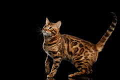 Playful Bengal Male Cat with beautiful spots, Isolated Black Background Stock Photos