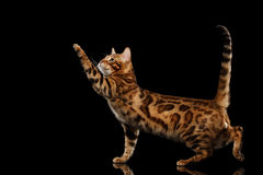 Playful Bengal Male Cat Standing, Raising paw, Isolated Black Background Royalty Free Stock Photos