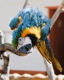 Playful big parrot on a branch Stock Photos