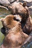 Playful bite by grizzly bear stock image