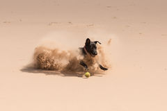 Playful black dog having fun with a ball Royalty Free Stock Photography