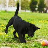 Playful black dog Labrador puppy playing with a ball in the summ Royalty Free Stock Photos