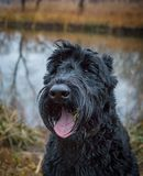 Playful black giant schnauzer in the autumn park. Dog companion stock photos
