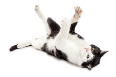 Playful Black and White Cat on Back Stock Photography