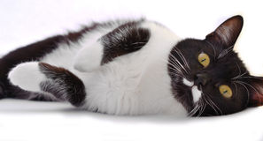 Playful black - white cat with yellow eyes Royalty Free Stock Photos