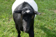 Playful Black and White Dwarf Goat. Nigerian dwarf goat in summer stock photos