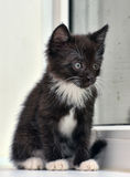 Playful black and white kitten Stock Photo