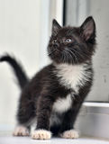 Playful black and white kitten Stock Images