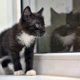 Playful black and white kitten Stock Image