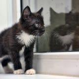 Playful black and white kitten Stock Image